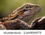reptile   lizard   dragon | Shutterstock . vector #1164904975