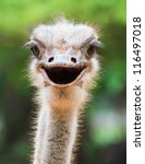 Stock photo ostrich head closeup 116497018