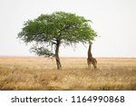 Wild Giraffe Reaching With Lon...
