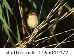 a cute fledgling sedge warbler  ...   Shutterstock . vector #1165041472