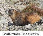 A Yellow Bellied Marmot...