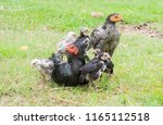 chicks stand on the back of the ... | Shutterstock . vector #1165112518