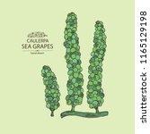 caulerpa  sea grapes seaweed.... | Shutterstock .eps vector #1165129198
