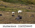 polar bears on franz joseph...   Shutterstock . vector #1165254445