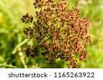 Seeds Of Wild Angelica ...