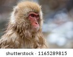 some macaque apes take a bath... | Shutterstock . vector #1165289815