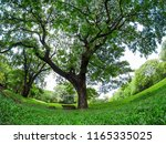 beautiful big tree in the... | Shutterstock . vector #1165335025