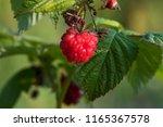 organic raspberries plant and... | Shutterstock . vector #1165367578