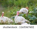 free range turkey | Shutterstock . vector #1165367602