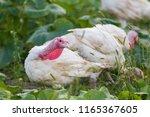 free range turkey | Shutterstock . vector #1165367605