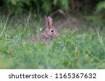 baby eastern cottontail bunny ... | Shutterstock . vector #1165367632