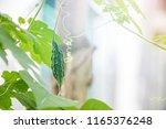 little young bitter melon or... | Shutterstock . vector #1165376248