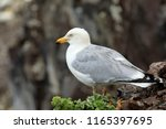 adult seagull watching out for... | Shutterstock . vector #1165397695