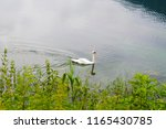 lonely white swan floating on... | Shutterstock . vector #1165430785