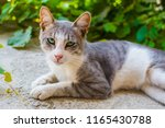 cat with green eyes outdoors | Shutterstock . vector #1165430788