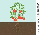 tomato plants  vegetable with... | Shutterstock .eps vector #1165480285
