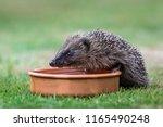 hedgehog  native  wild ... | Shutterstock . vector #1165490248