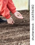 Closeup of gardener  sows seeds in soil at field - stock photo