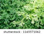 spike moss and light for... | Shutterstock . vector #1165571062