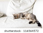 Stock photo small cat 116564572
