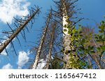 pine forest devastated be bark... | Shutterstock . vector #1165647412