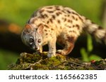 genet portrait in a forest with ... | Shutterstock . vector #1165662385