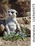 the meerkat or suricate ... | Shutterstock . vector #1165665475