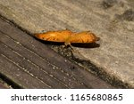 Small photo of a julia falter spread out his wings sitting on the ground photographed in a tropical greenhouse with macro lens