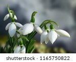 beautiful white snowdrops | Shutterstock . vector #1165750822