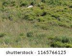 a badger on a hilside | Shutterstock . vector #1165766125