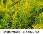 goldenrod background or texture ... | Shutterstock . vector #1165822765