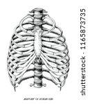 anatomy of human ribs hand draw ... | Shutterstock .eps vector #1165873735