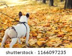 Stock photo cute friendly french bulldog playing in autumn park 1166097235