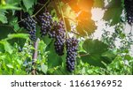 ripe grapes close up on red... | Shutterstock . vector #1166196952