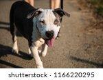staffordshire bull terrier | Shutterstock . vector #1166220295