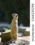 meerkats at the zoo | Shutterstock . vector #1166235298