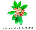 pink plumeria isolated on white.... | Shutterstock . vector #1166279752