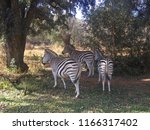 Zebra On The Grass In...