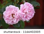 closeup of two pink roses... | Shutterstock . vector #1166402005