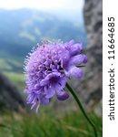 Scabiosa Wild Flower Against...