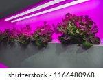 growing vegetables using led... | Shutterstock . vector #1166480968