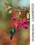 green violetear  colibri... | Shutterstock . vector #1166485525