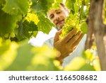 farmer controls white grapes on ... | Shutterstock . vector #1166508682
