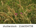 dried grass and purple... | Shutterstock . vector #1166534758