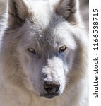close up of white wolf | Shutterstock . vector #1166538715