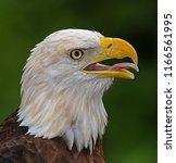 An Bald Eagle  Haliaeetus...