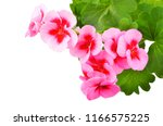 balmy geranium flower  isolated ... | Shutterstock . vector #1166575225