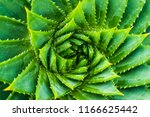 top view of spiral aloe.aloe...   Shutterstock . vector #1166625442