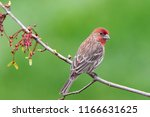 male house finch outdoors on a... | Shutterstock . vector #1166631625