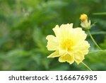 yellow cosmos or cosmos... | Shutterstock . vector #1166676985